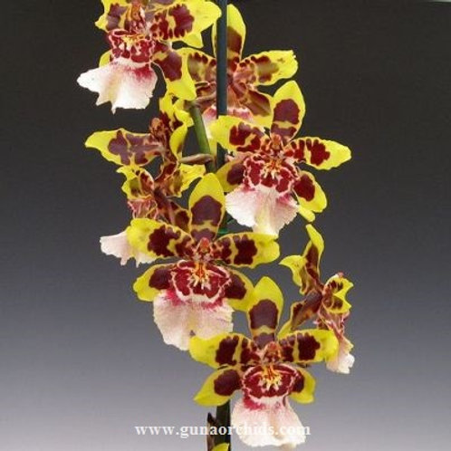 Oncidium Colmanara Wildcat Yellow Butterfly BS