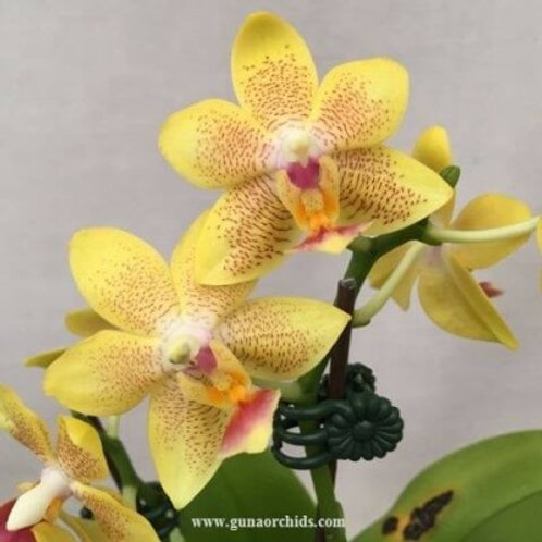 Phalaenopsis Younghome Lucky Star BS