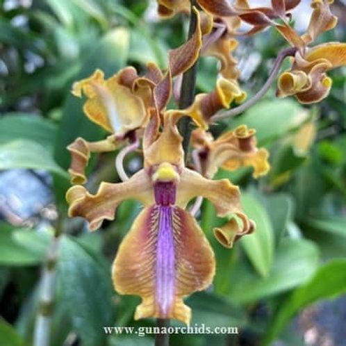 Dendrobium Antelope Minnie Tangerinum x Juffery Tan Sutiknoid BS