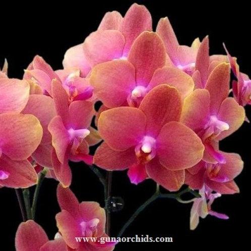 Phalaenopsis Love Waltz BS