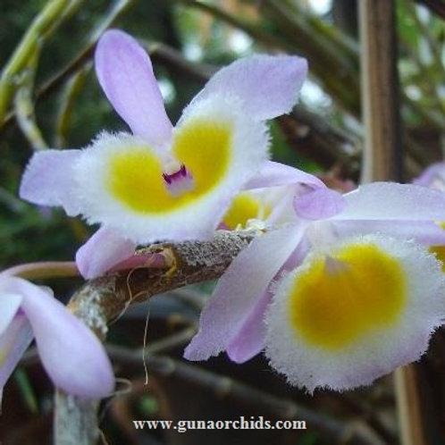 Dendrobium Primulinum BS