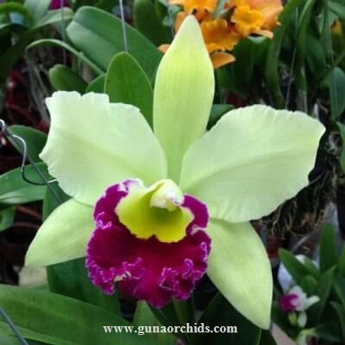 Cattleya Pathum Green BS