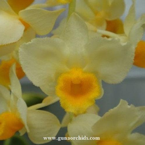 Dendrobium Farmeri Alba x Guibertii BS