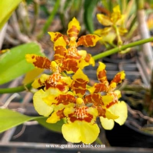 Oncidium Yuan Nan Gold BS
