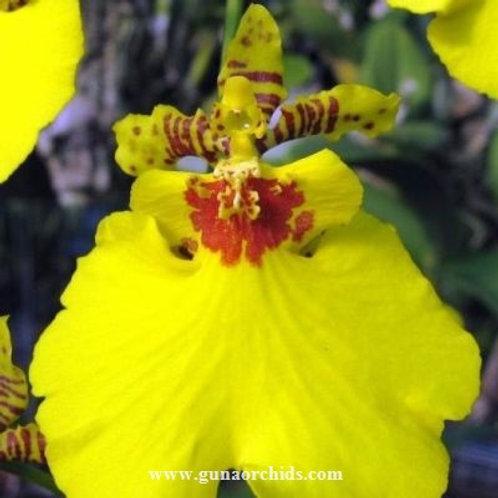 Oncidium Aloha Iwanaga BS