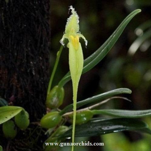 Bulbophyllum Fascinator var. Alba BS
