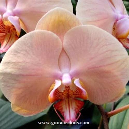 Phalaenopsis Jiuhbao Venus BS