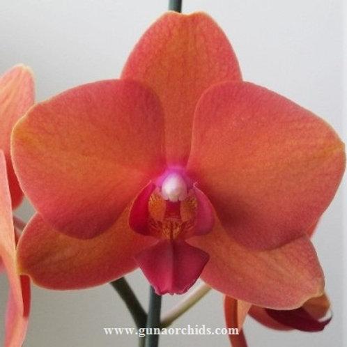 Phalaenopsis Kingcar Big Orange BSge BS
