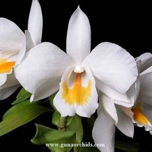 Dendrobium Formosum BS