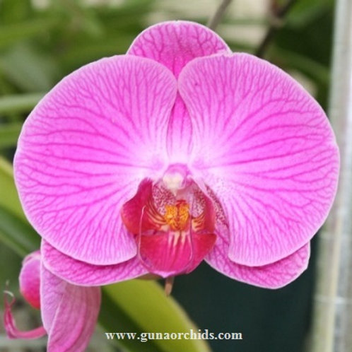 Phalaenopsis Ox Red Shoe BS