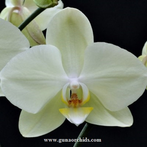 Phalaenopsis Green Apple BS