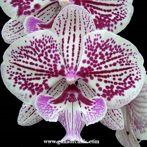 Phalaenopsis Tying Shin Thor BS