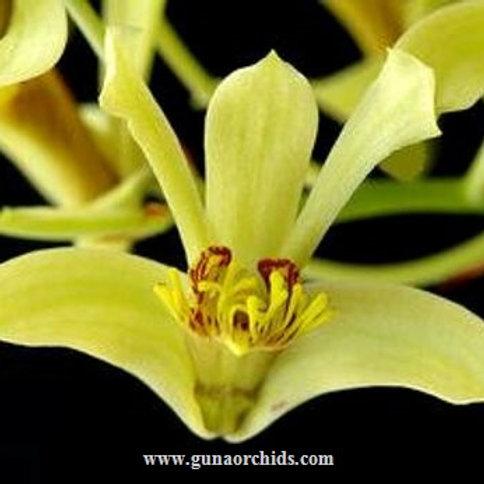 Dendrobium Delacourii BS