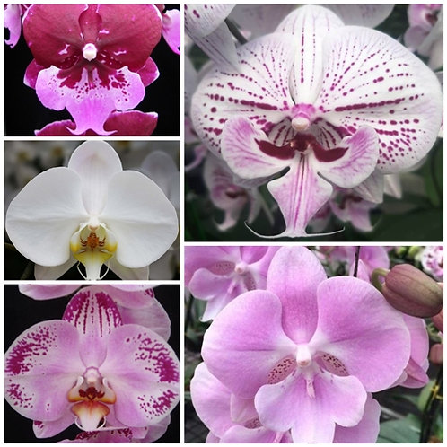 Phalaenopsis 5 Pack Combo