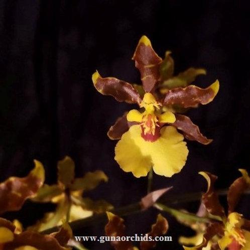 Oncidium Tropic Breeze 'Everglades' BS