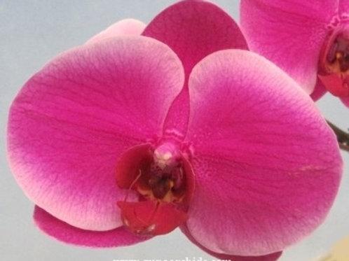 Phalaenopsis Shiuhdong Sweet Heart x Fuller's Coke BS