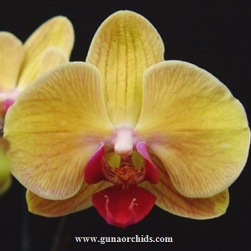 Phalaenopsis Chian Xen Queen BS