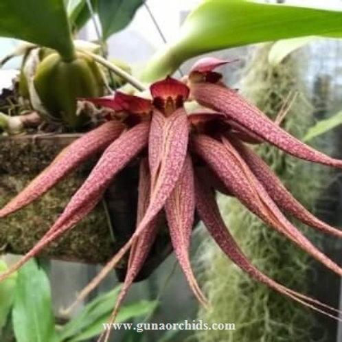 Bulbophyllum Krairit Vejvarut BS