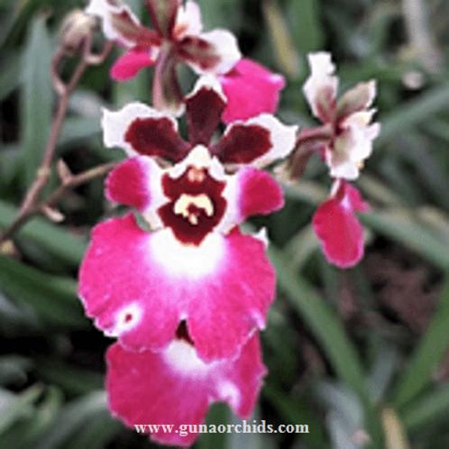 Tolumnia Jairak Flyer Corona Pink BS