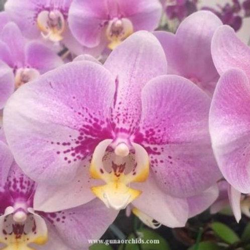 Phalaenopsis Fuller's Blood Mint BS