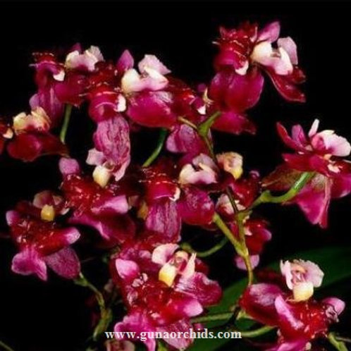 Oncidium Twinkle Red BS