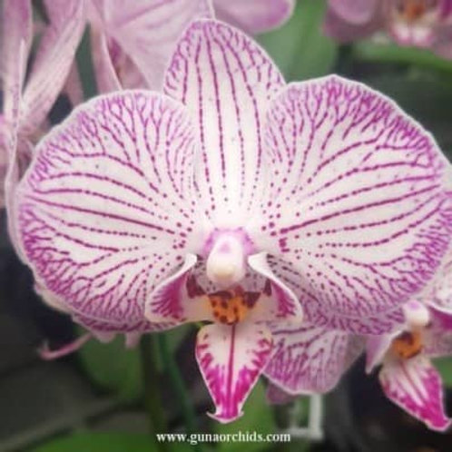 Phalaenopsis Fure Shing Pretty x Minho Princess BS