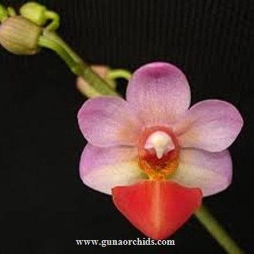 Phalaenopsis Jia Ho Cherry x Lobbii BS