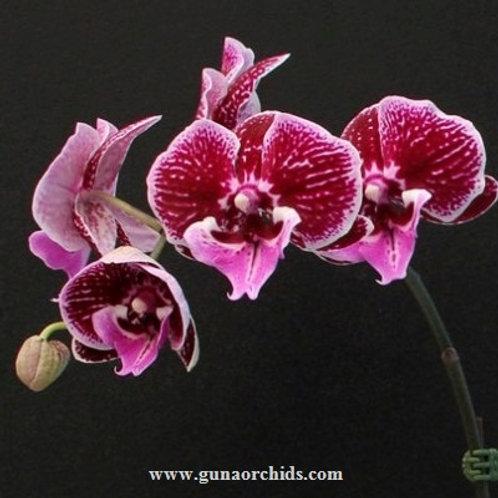 Phalaenopsis Tying Shin New View BS