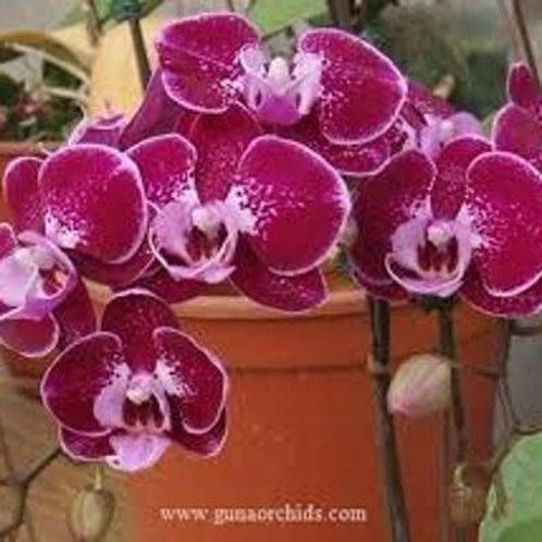 Phalaenopsis Shu Long Heart BS