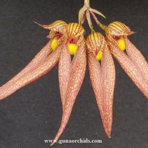 Bulbophyllum Frostii x Annandalei BS