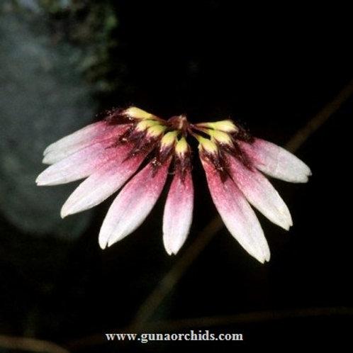 Bulbophyllum Flabellum Veneris BS