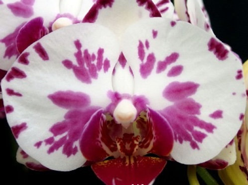 Phalaenopsis Ox Princess BS