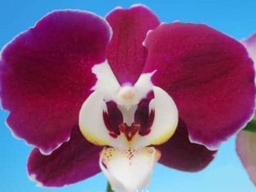 Phalaenopsis Fuller's Chocolate BS