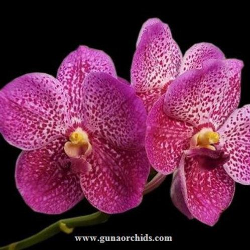 Vanda Somsri Pink x Blitz Heartthrob BS