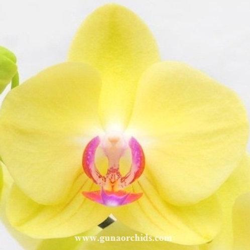 Phalaenopsis Fuller's Sunset BS