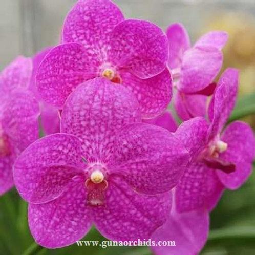 Vanda Suphan Pink BS