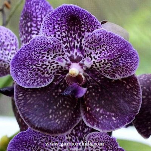 Vanda Robert Delight Black BS