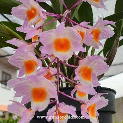 Dendrobium Farmeri Pink BS