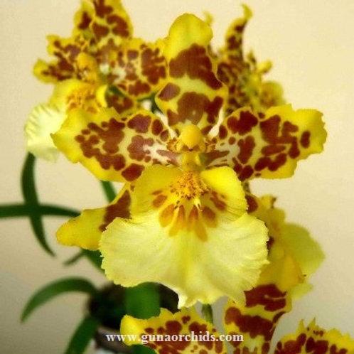 Oncidium Green Valley Plum Blossom BS