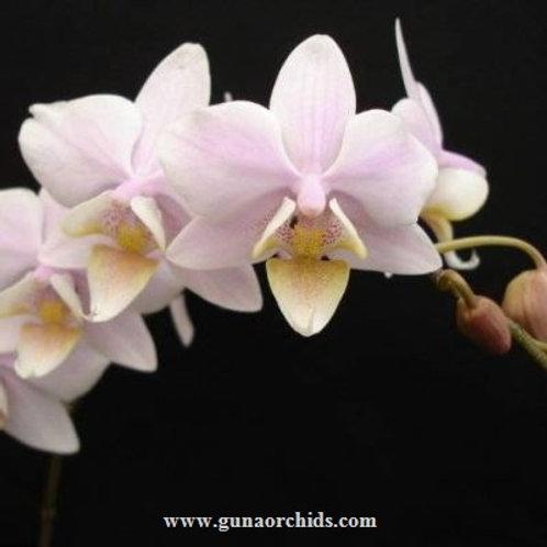 Phalaenopsis Schilleriana x Cassandra BS