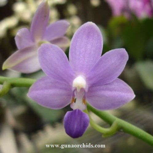 Phalaenopsis Pulcherrima Blue x Dtps Purple Martin BS