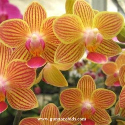 Phalaenopsis Chingruey's Goldstaff BS
