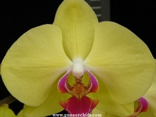 Phalaenopsis Younghome Golden BS