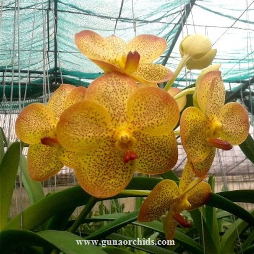 Vanda Yellow Butterfly Spotted BS