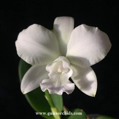Cattleya White Bridal Yuki BS