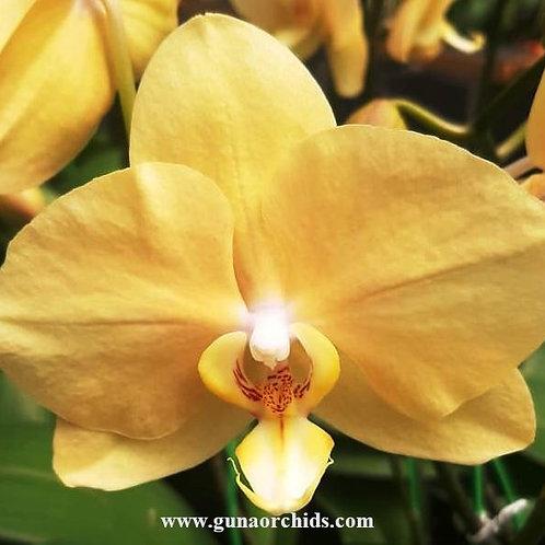 Phalaenopsis Ox Lottery Prince BS