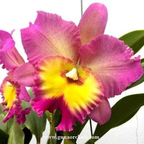 Cattleya Nakornchaisri Pink BS