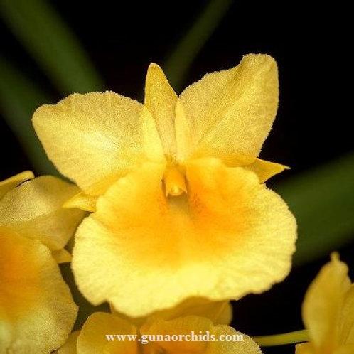Dendrobium Capillipes BS