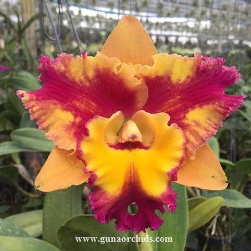 Cattleya Rungnapha Fancy SS