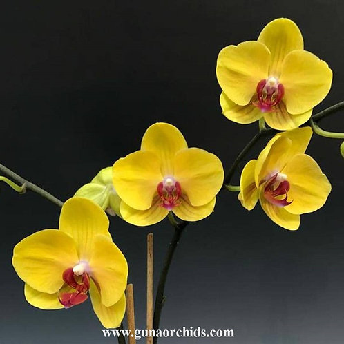 Phalaenopsis Tiannong Yellow Nice BS
